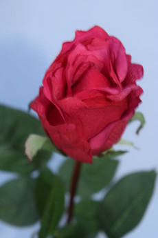 Classic Touch Rose Bud - Tea Berry