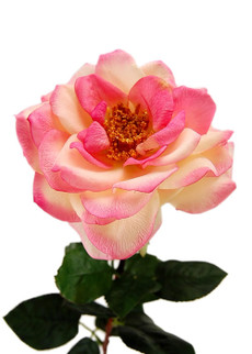 Mature Roses 20