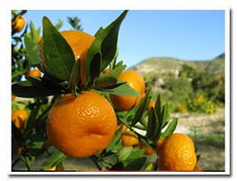 Certified Organic seedless Kishu Mandarins basking in the winter sun.