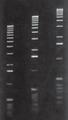 Agarose LE gel in 1X TAE buffer  From Right to Left Lane 1 -0.75 % Lane 2 -1 % Lane 3 -1.25 %  Marker: 1 Kb Ladder.