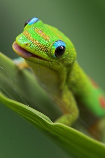 gecko-close.jpg