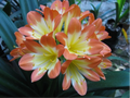 Picotee X (Roly's Tulle X Self) Clivia Seedling Plant