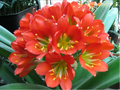 784 Red Green throat X (Malta X Star) Clivia Seed