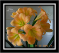 Hilton All Seasons X Clarissa Clivia Seed