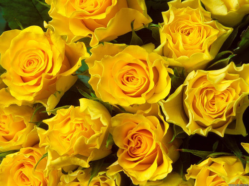 One dozen yellow roses for any celebration