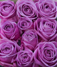 One Dozen Beautiful Lavender Roses