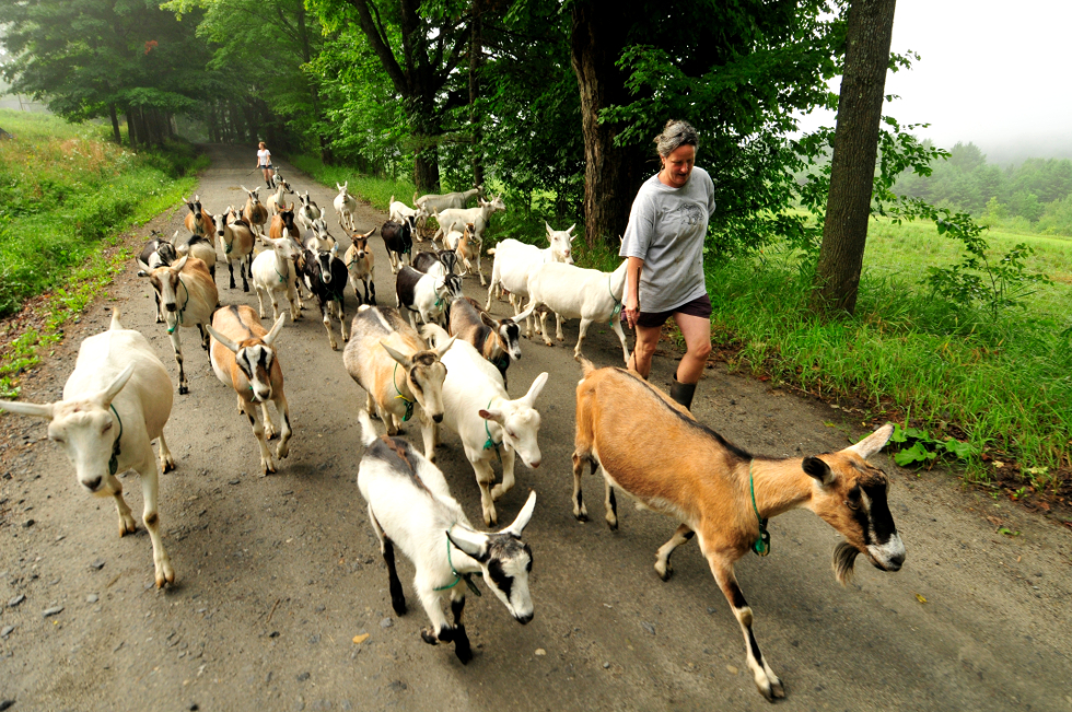 judith-calley-walking-goats-on-road-980-website.jpg
