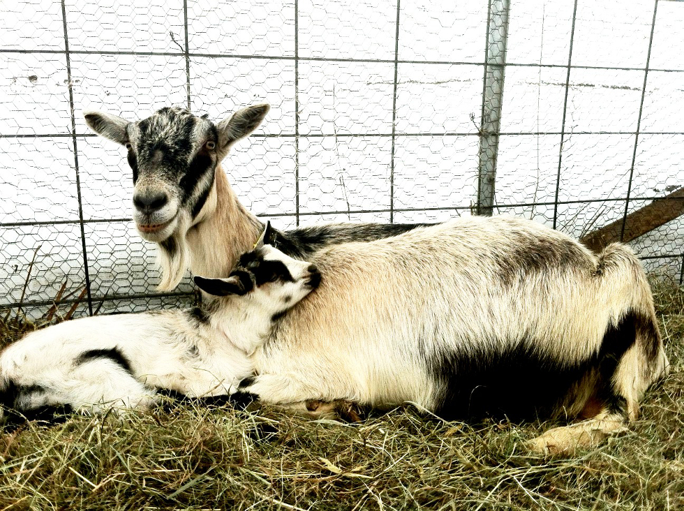 mama-and-baby-goat-980-website.jpg