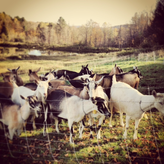 Goats waiting to come home