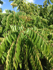 Curry Tree Leaves- Bunch *Locally Grown- Chemical Free*
