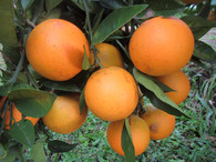 *Direct from Grower!* Oranges  - 1kg