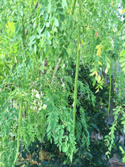 Moringa Leaves- Bundle (aka drumstick tree) *SUPERFOOD!*