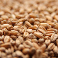 Weyermann Oak Smoked Wheat 1lb