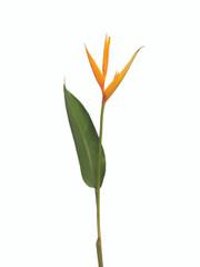 Heliconia Psittacorum Golden Torch - 10 stem bunch