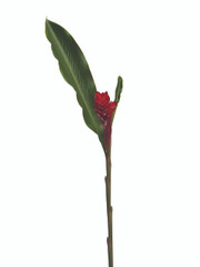 Ginger Alpinia Red - 3 stem bunch