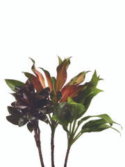 Top Cutting 50cm - 3 stem bunch