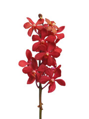 Mokara Hot Red - 5 stem bunch