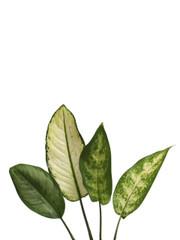 Mixed Dieffenbachia - 10 stem bunch