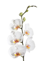 Phaleanopsis Orchids - 6 stem box