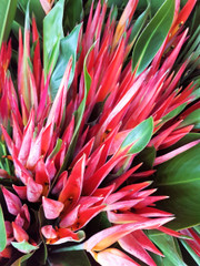 Heliconia Pssitacorums
