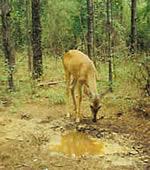 deer-spring.jpg
