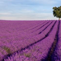 Organic Deodorant Cream - Lavender 4oz.