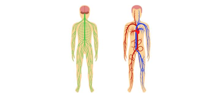 circulatorysystem.jpg