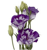 Lisianthus 10 Stem Bunch