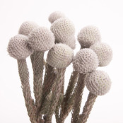 Silver Brunia 10 Stem Bunch