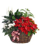 Blooming  Poinsettia Basket