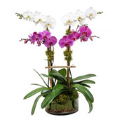 Ulltra Modern Orchid Plant