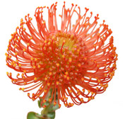 Pin Cushion Protea- 10 Single Stems