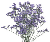 Limonium-5 Stem Bunch