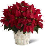 Double Red Poinsettia Basket