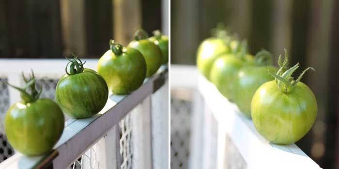 green zebra tomatoes in a row