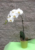 Moth orchid. Easy care soil medium once a week for 20 minutes let drain place back in container give bright light but not direct sunlight. http://www.beautifulorchids.com/orchids/orchid_care_tips/faq/frequently_asked_questions.html