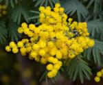 Hatcher Mimosa Bouquet for International Women's Day