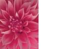 No Message - Pink Dahlia