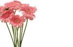 No Message - Pink Gerberas