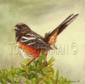 Spotted Towee - oil painting on canvas, songbird