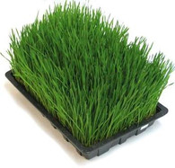 Wheatgrass or Barley Grass Fully Grown Trays
