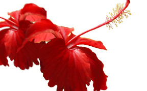 hibiscus-icon.jpg
