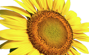 sunflower-icon.jpg
