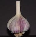 Certified Organic Garlic Bogatyr