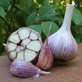 Certified Organic Garlic Deerfield Purple