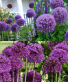 Purple 3 Pack of Allium Flowers