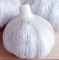 Italian Red Garlic Naturally Grown
