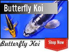 Butterfly Koi