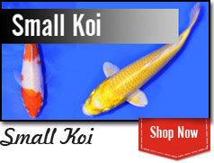 Small Koi