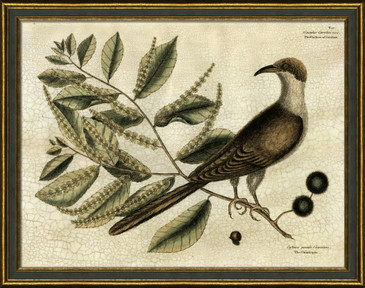 Cuckoo of Carolina